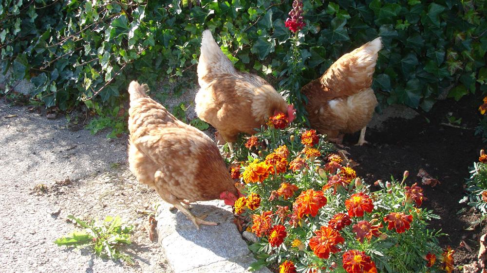 Hühner im Blumenbeet