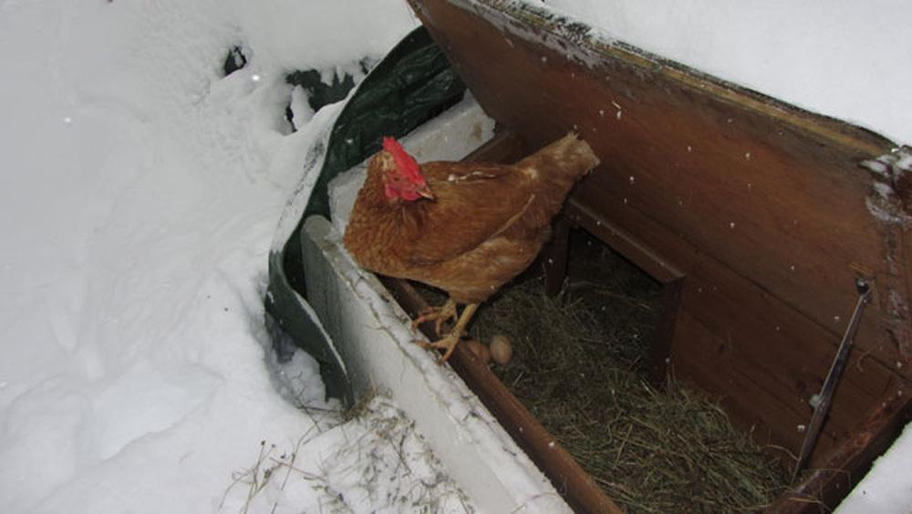 Hühner legen Eier auch im Winter