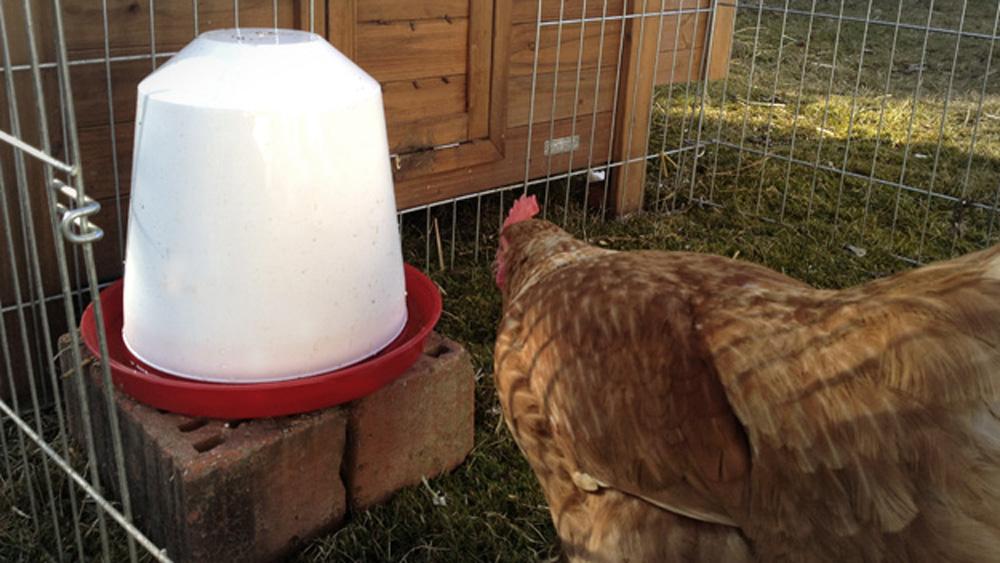 Hühner Wasserautomat